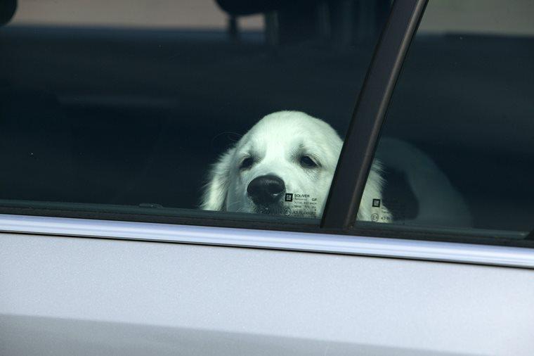 Hund leidet im Auto.