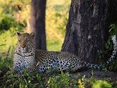 Ein Leopard liegt im Schatten eines Baumes