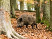 Wildschwein unterwegs im Wald.