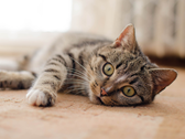 Getigerte Katze liegt auf dem Boden.