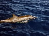 Ein Delfin schwimmt im Meer