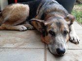 Ein älterer Hund liegt auf dem Boden