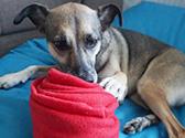 Hund spielt mit einer Vliesdecke