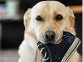 Hund mit Schuh im Maul.