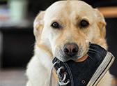 Hund kaut an einem Schuh