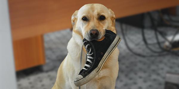 Hund trägt Schuh im Maul