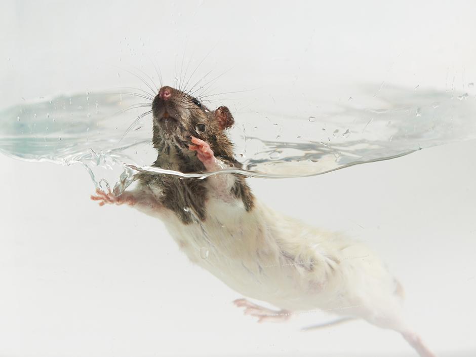 Schwimmen bis zur Verzweiflung - Ratte im Wasserglas (c) Ärzte gegen Tierversuche
