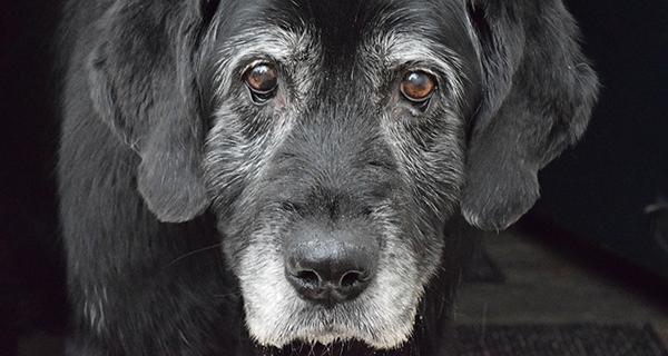 Kopf eines alten Hundes