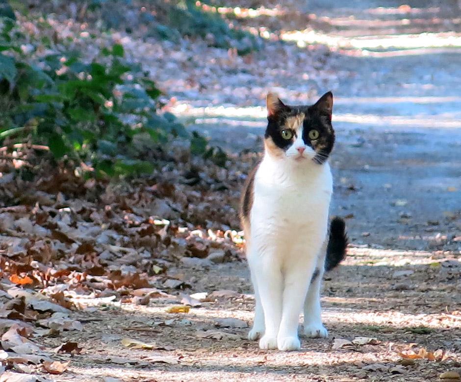Eine dreifarbige Katze im Wald.